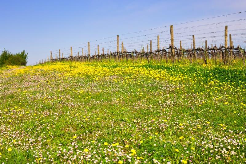 Виноградники около поля маргариток и одуванчиков стоковое фото rf