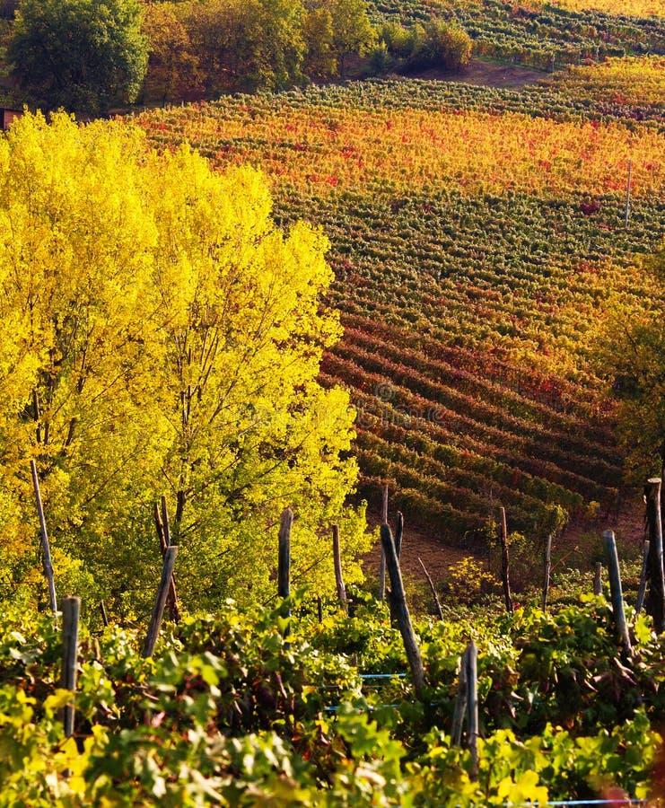 виноградники осени стоковое фото rf