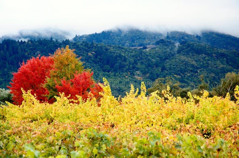 виноградники покрашенные осенью стоковое изображение rf