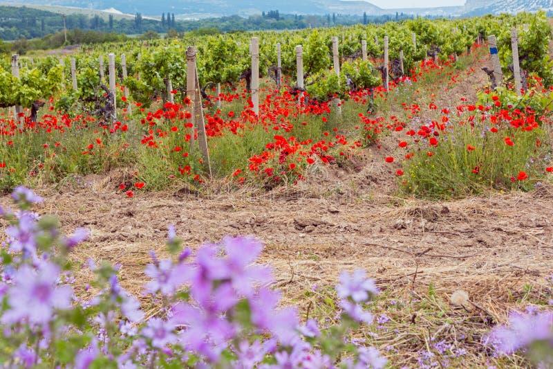Виноградники поля весны стоковые изображения rf