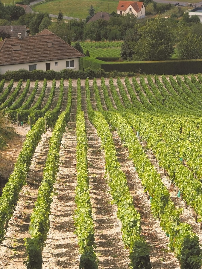 виноградники стоковые фотографии rf