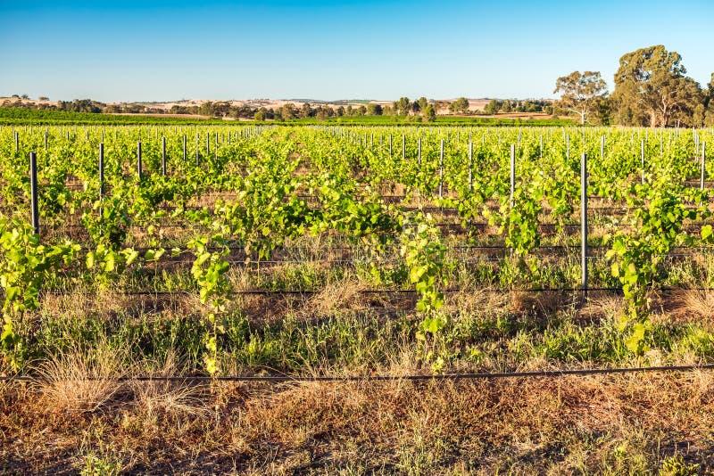 Виноградники Barossa Valley, южная Австралия стоковые изображения