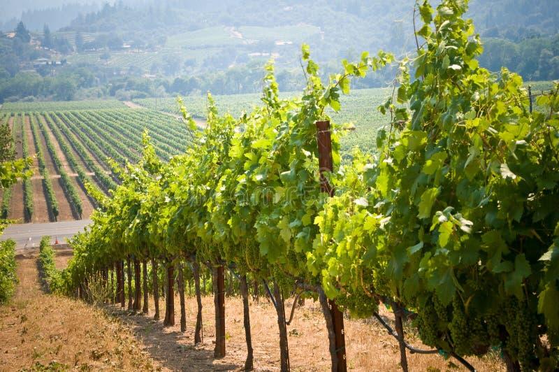виноградники california стоковые изображения rf