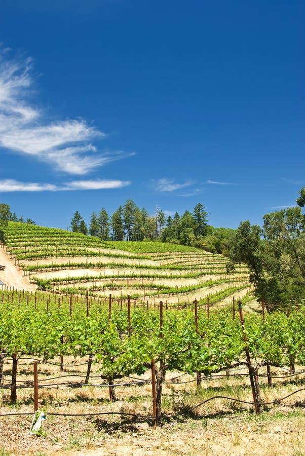 виноградники napa california стоковые фото