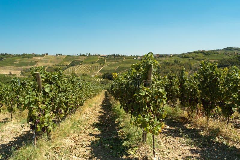виноградники oltrep стоковые изображения rf