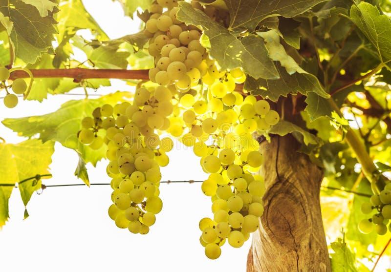 Виноградник - белые виноградины на заводе виноградного вина - земледелие стоковое изображение
