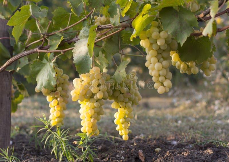 Виноградник белых виноградин и плод белых виноградин Земледелие белых виноградин стоковое изображение rf