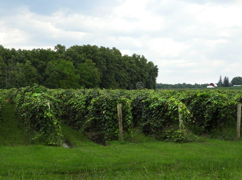 Виноградник виноградины в FingerLakes NYS стоковое изображение rf