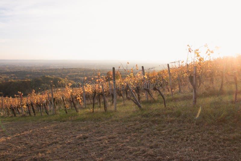 Заход солнца виноградника стоковое изображение