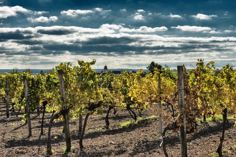 Виноградник в осени в Нижней Австрии стоковые фотографии rf
