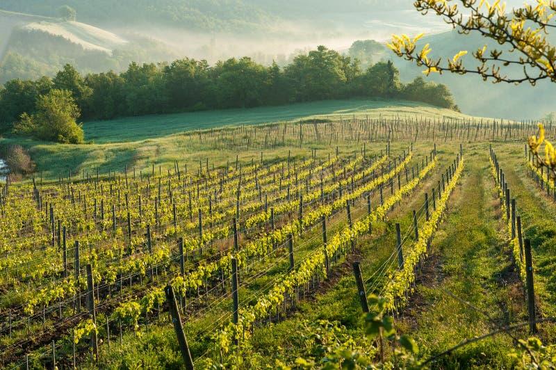 Виноградник в Тоскане стоковая фотография rf