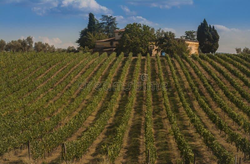 Виноградник в холмах Chianti стоковая фотография rf