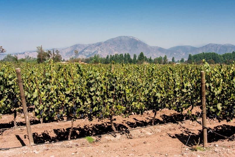 Виноградник в чилеански стоковое фото