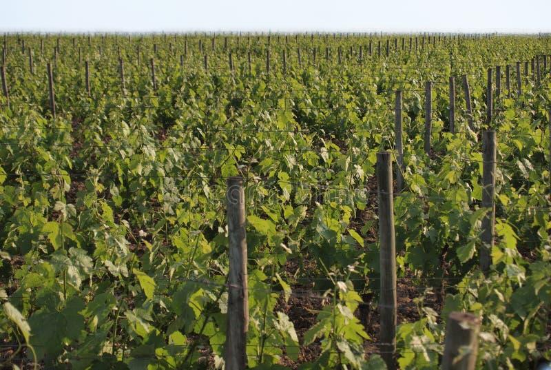 Виноградник в Pomerol стоковая фотография