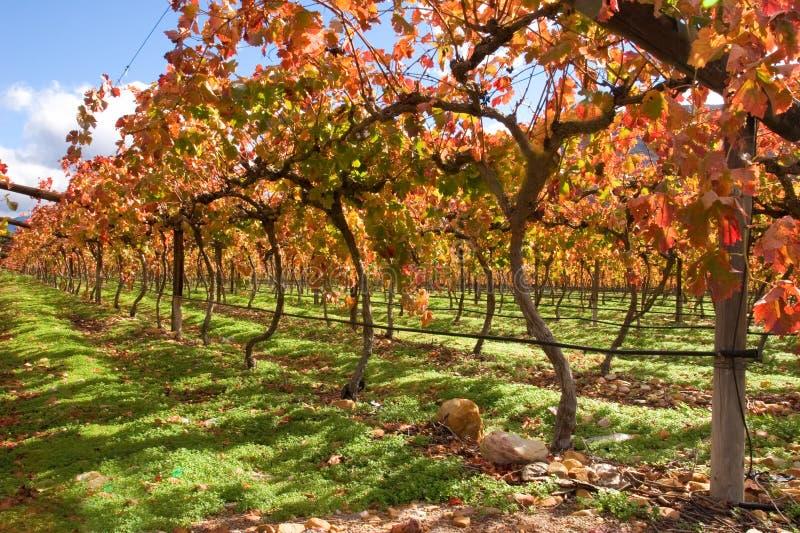 виноградник городка плащи-накидк области Африки южный стоковое изображение