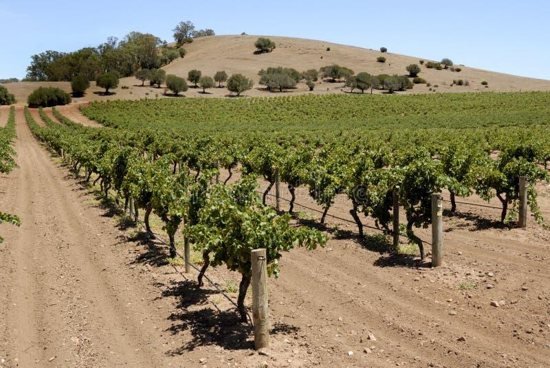 виноградник долины barossa стоковое фото