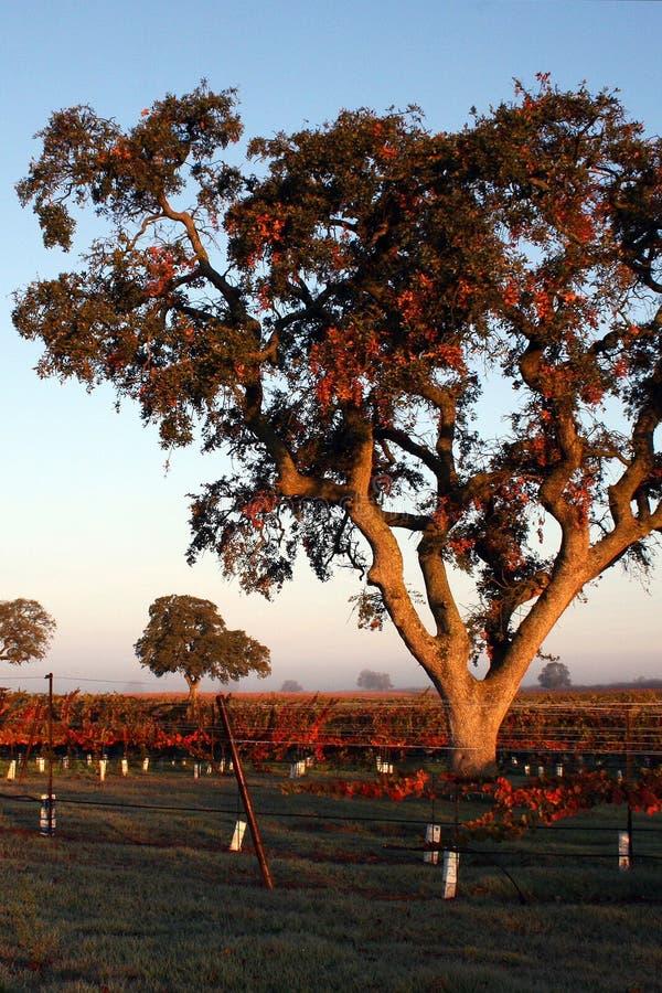 виноградник дубов стоковое изображение rf