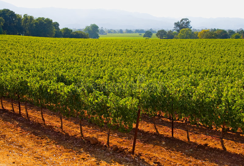 виноградник захода солнца стоковые изображения
