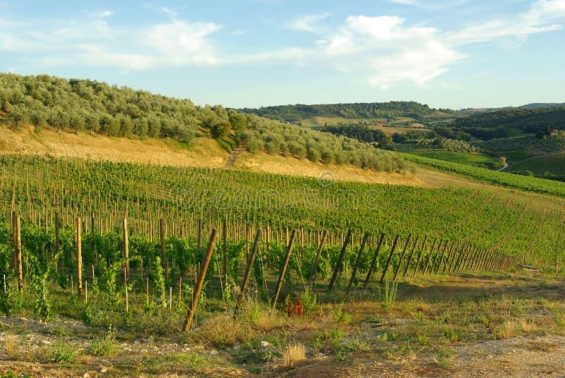 виноградник Италии Тосканы стоковое изображение