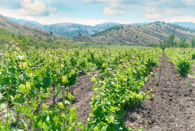 Виноградник и холмы стоковое фото