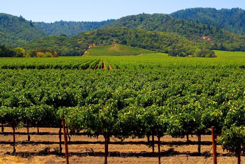 виноградник лета стоковое изображение