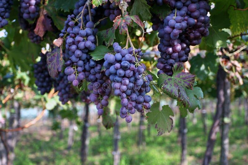 виноградник лозы виноградин стоковые изображения