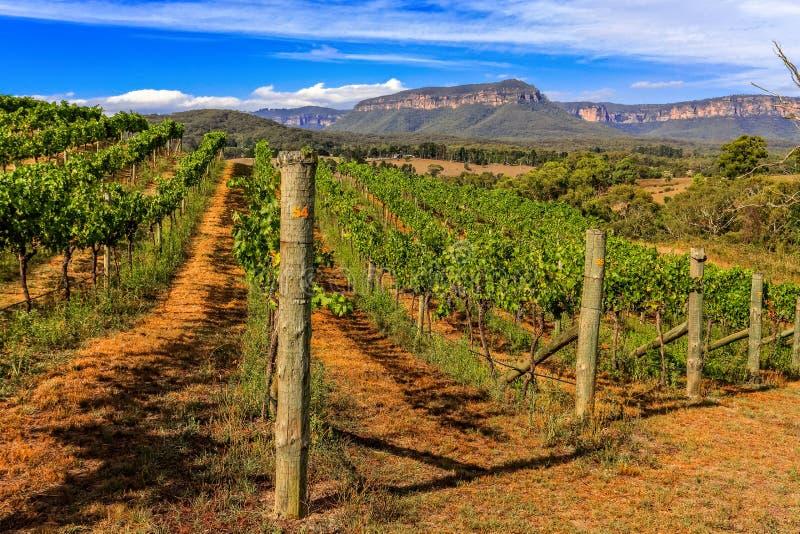 Виноградник - лозы растя виноградины стоковые изображения