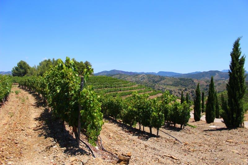 Виноградник на холме в Priorat Испании стоковые фото