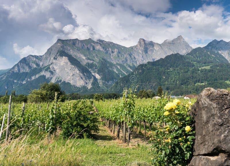 Виноградник обрамленный желтыми розами с целью гор позади стоковые фото