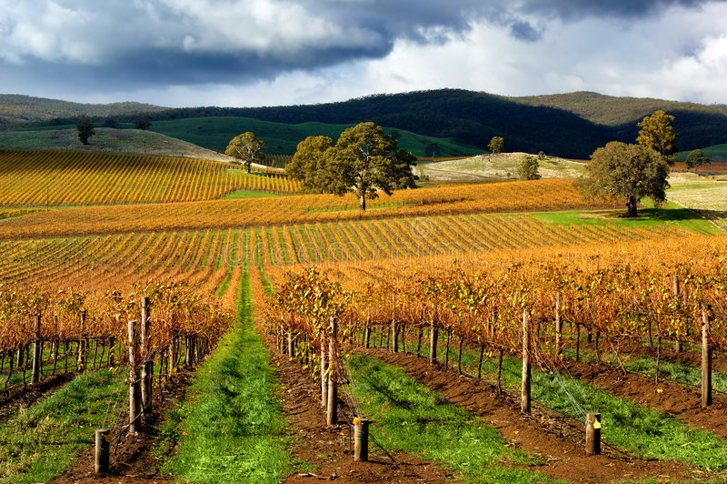 виноградник осени стоковые изображения