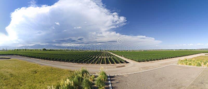 виноградник панорамы стоковое фото rf