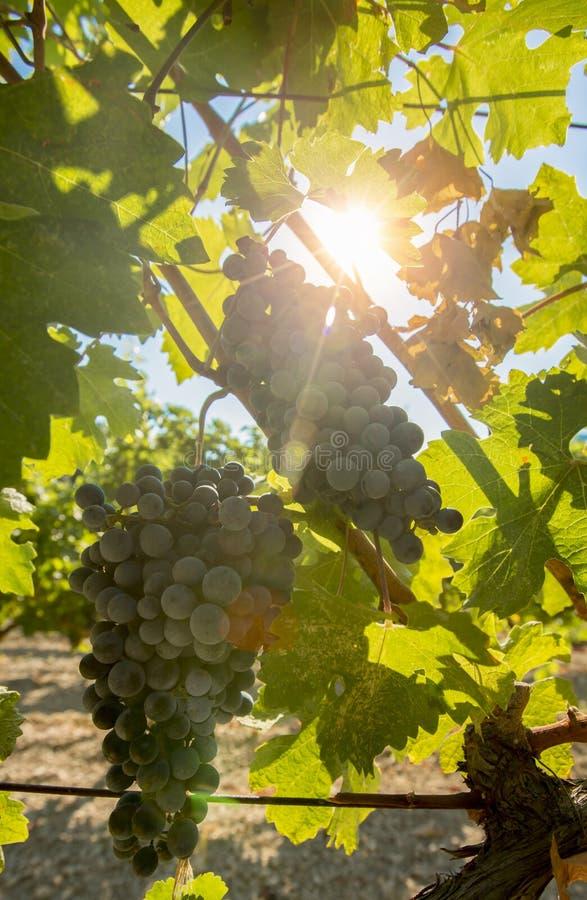 Виноградник с зрелыми виноградинами стоковые фотографии rf