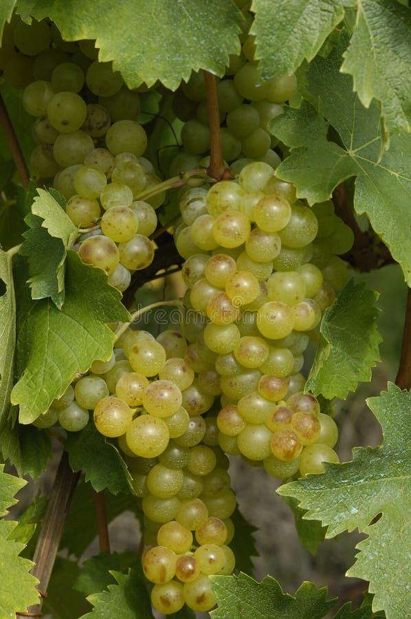 виноградник Франции стоковое фото rf