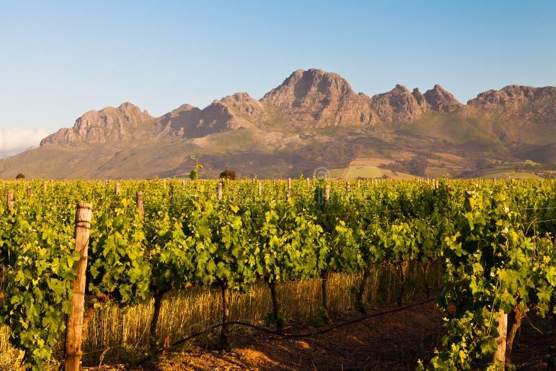 виноградник холмов Африки южный стоковая фотография