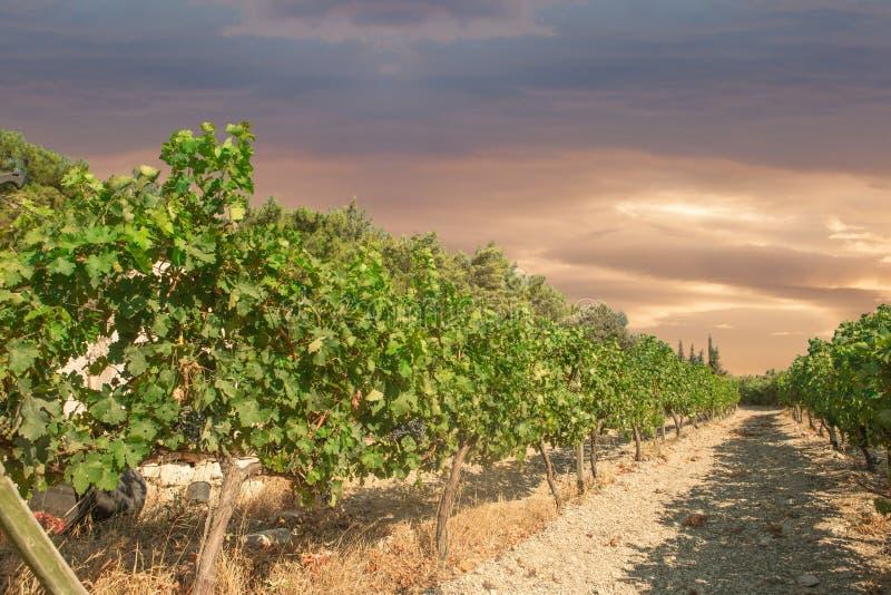 Виноградник стоковые изображения rf