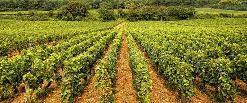 виноградник burgundy стоковая фотография rf
