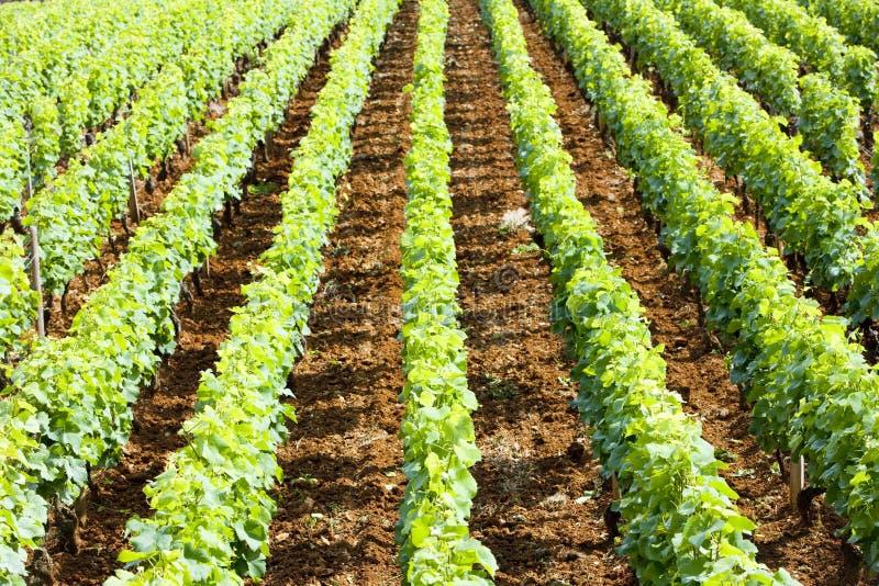 виноградник burgundy стоковое фото rf