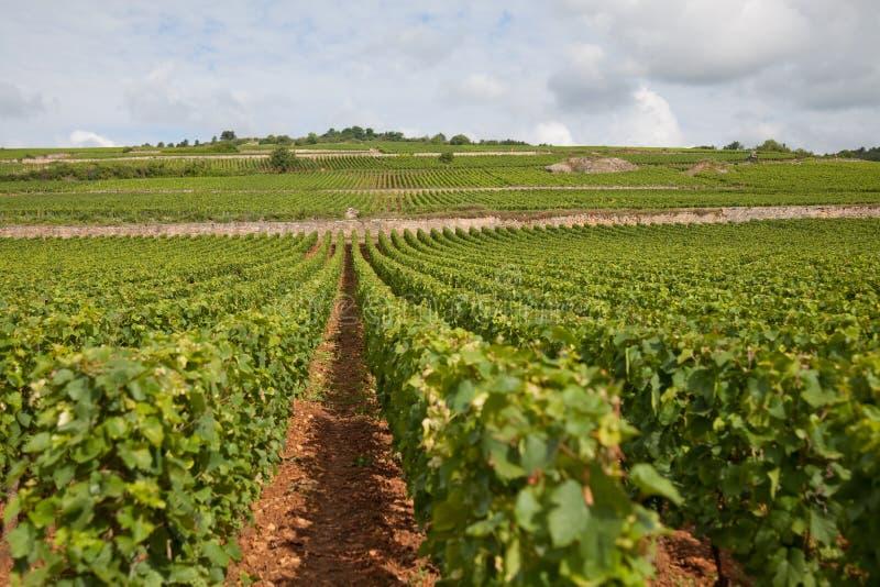 виноградник burgundy стоковая фотография