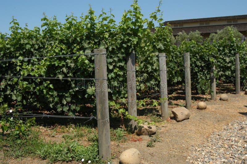 виноградник california стоковые фото