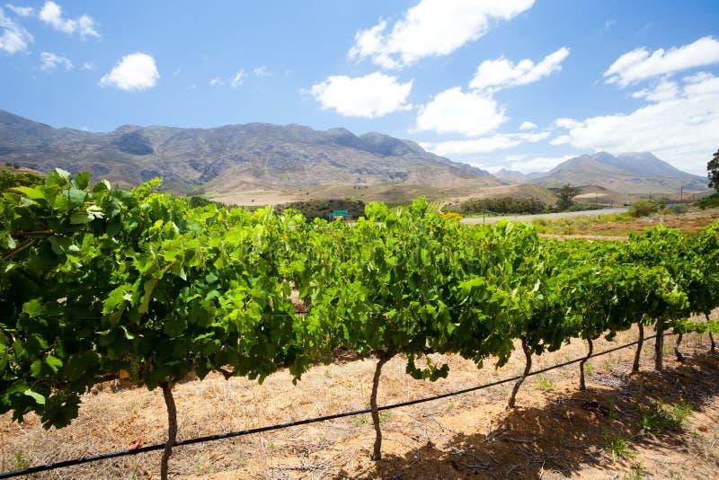 виноградник Cape Town стоковые фотографии rf