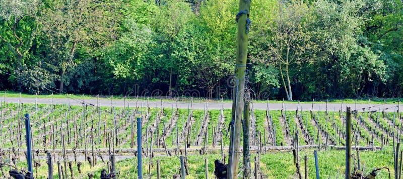 Виноградник Lohrberg, Франкфурт/основа, Германия стоковое изображение