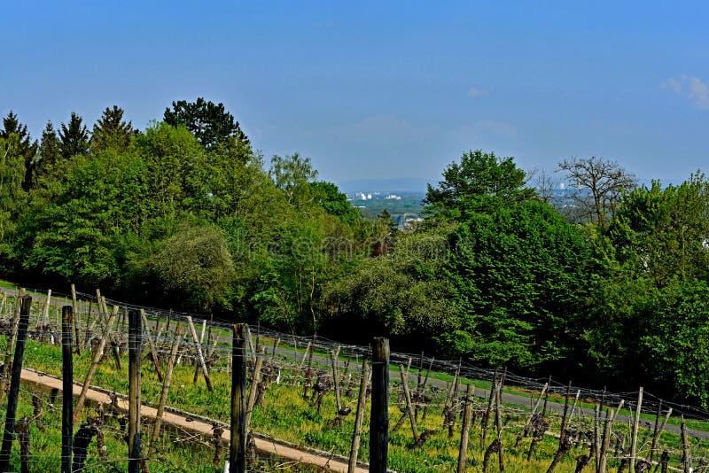 Виноградник Lohrberg, Франкфурт/основа, Германия стоковые изображения