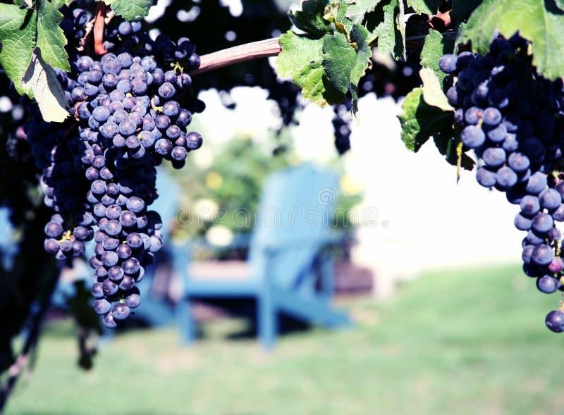 виноградник merlot виноградин стоковые изображения rf
