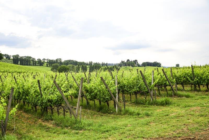 Виноградник Merlot и Sangiovese в итальянской сельской местности Umbri стоковое изображение
