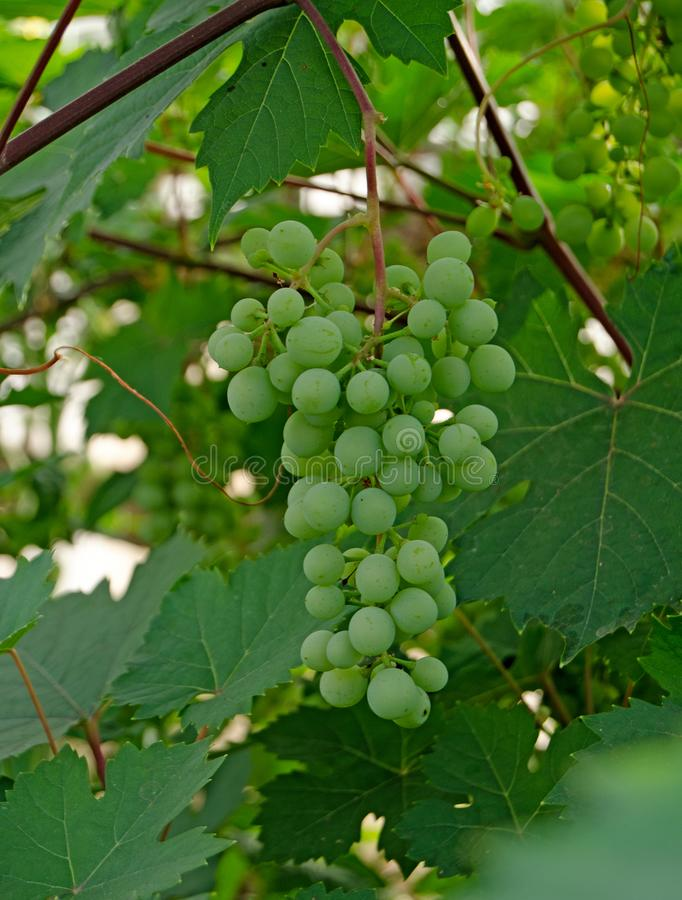 Виноградное вино со связкой винограда летом стоковая фотография rf