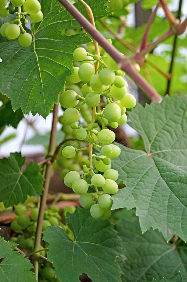 Виноградное вино со связкой винограда летом стоковое фото rf
