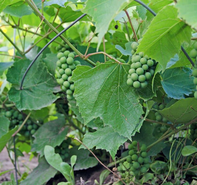 Виноградное вино со связкой винограда летом стоковые фото