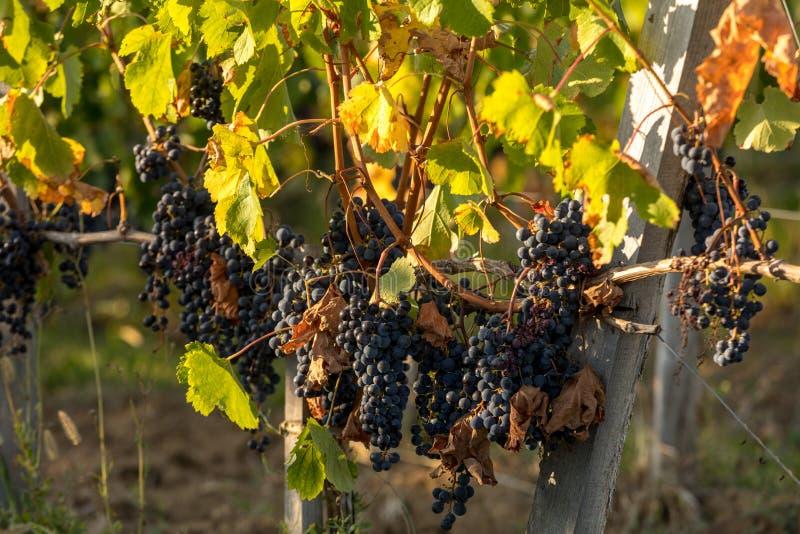 виноград Ripe Merlot, освещенный теплым поздним солнцем на винограднике Мон стоковые изображения