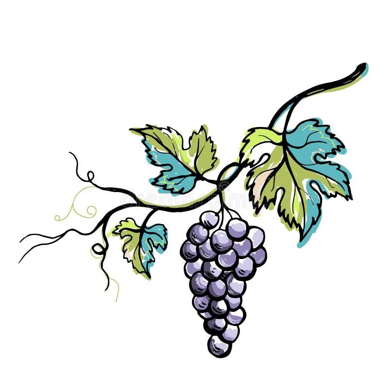 Виноградина акварели зрелая при листья изолированные на белизне иллюстрация штока