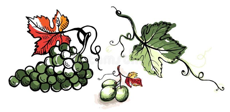 Виноградина акварели зрелая при листья изолированные на белизне бесплатная иллюстрация